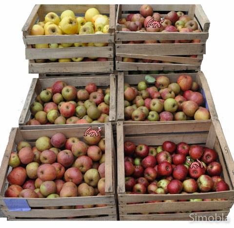 """Sie alle wandern in die Presse: Für ihren ersten Apfelwein verwenden die """"Ebbelwörmscher"""" ganz verschiedene Apfelsorten."""