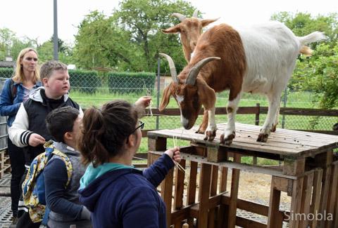 """Ziegen leben ebenso wie Hühner, Hunde, ein Kater und natürlich Ponys bei den """"Ponyzwergen"""". Archivbild: Michael Sittig"""